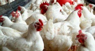 ارتفاع صاروخي لأسعار الدجاج وجمعية المنتجين توضح
